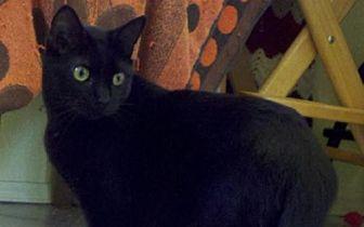 Domestic Shorthair Kitten for adoption in Santa Rosa, California - Hubble