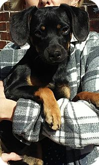 Chihuahua/Pug Mix Puppy for adoption in Newtown, Connecticut - Dahlia