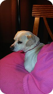 Chihuahua Mix Dog for adoption in Grants Pass, Oregon - Rosalie