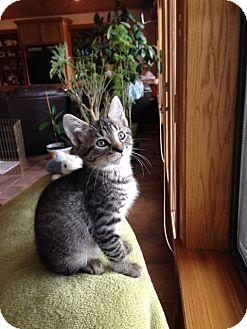 Domestic Shorthair Kitten for adoption in San Antonio, Texas - Spitzer-