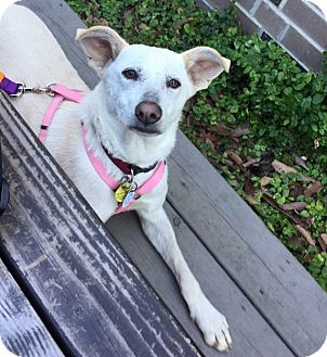 German Shepherd Dog/Shepherd (Unknown Type) Mix Dog for adoption in Dallas, Texas - Pippa