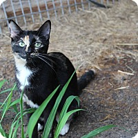 Calico Cat for adoption in Muldrow, Oklahoma - Zippy