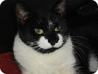Domestic Shorthair Cat for adoption in Island Heights, New Jersey - Oreo
