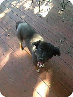 Australian Shepherd Mix Dog for adoption in Staunton, Virginia - Crissy