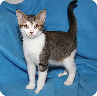 Domestic Shorthair Kitten for adoption in Marietta, Ohio - Splat The Cat (Neutered)