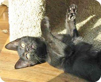 Domestic Shorthair Kitten for adoption in Davis, California - Pearl