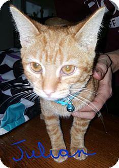 Domestic Shorthair Cat for adoption in Livonia, Michigan - Julian-ADOPTED