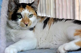 Domestic Shorthair Cat for adoption in Chicago, Illinois - Sonia