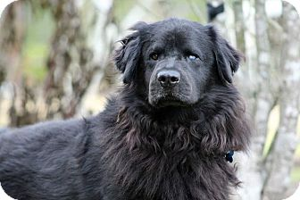 Flat-Coated Retriever Mix Dog for adoption in SOUTHINGTON, Connecticut - Homero
