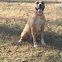 American Staffordshire Terrier/Pit Bull Terrier Mix Dog for adoption in Covington, Tennessee - Gretchen