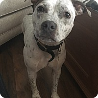 Pit Bull Terrier Mix Dog for adoption in Frankfort, Illinois - Callie