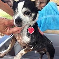 Adopt A Pet :: Jolly Roger - Gilbert, AZ