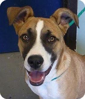 Border Collie/Anatolian Shepherd Mix Dog for adoption in Red Bluff, California - Alice