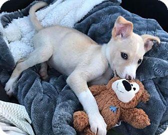 German Shepherd Dog/Labrador Retriever Mix Puppy for adoption in Toronto, Ontario - Samuel