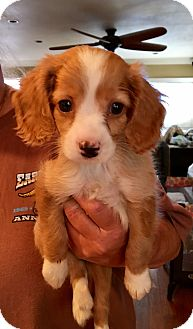 Cocker Spaniel/Beagle Mix Puppy for adoption in Carson, California - SWEET PETE