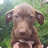 Adopt A Pet :: Claire - Medora, IN
