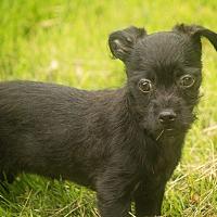 Adopt A Pet :: Rhapsody - Millersville, MD