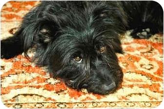 Scottie, Scottish Terrier/Schnauzer (Standard) Mix Dog for adoption in Vista, California - Waldo