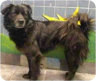 Chow Chow/Flat-Coated Retriever Mix Dog for adoption in New York, New York - Jenny