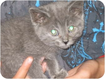 Russian Blue Kitten for adoption in Trenton, New Jersey - Fozzette (Adopted)