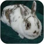 English Spot Mix for adoption in Wheaton, Illinois - Sunny