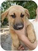 Shepherd (Unknown Type) Mix Puppy for adoption in Harrisonburg, Virginia - Jupiter