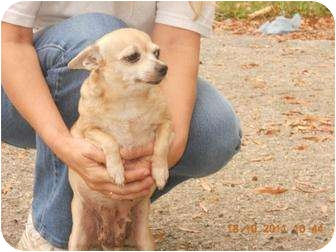 Chihuahua Mix Dog for adoption in Naugatuck, Connecticut - Candy