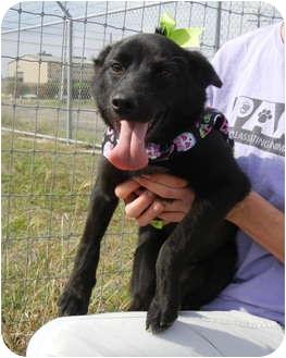 Schipperke Dog for adoption in Corpus Christi, Texas - Darla