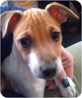 Rat Terrier/Chihuahua Mix Puppy for adoption in Palatine, Illinois - Delilah