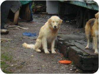Golden Retriever/Hound (Unknown Type) Mix Puppy for adoption in Cincinnati, Ohio - Rags