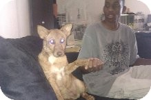 Shepherd (Unknown Type) Mix Puppy for adoption in Las Vegas, Nevada - Foxy -N