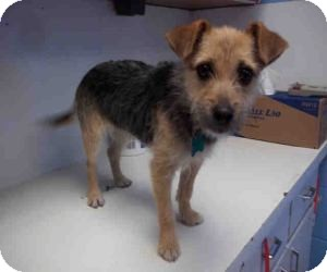 Terrier (Unknown Type, Small) Mix Dog for adoption in Las Vegas, Nevada - Odette-N