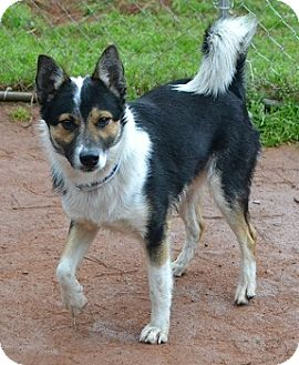 Basenji/Cattle Dog Mix Dog for adoption in Athens, Georgia - Hatch