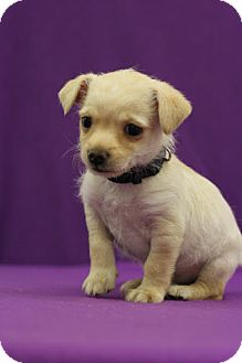 Chihuahua Mix Puppy for adoption in Broomfield, Colorado - GIANT