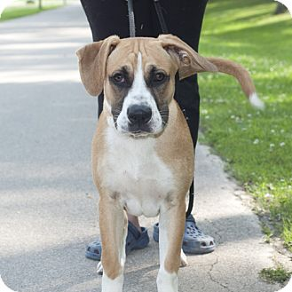 Boxer/Great Dane Mix Puppy for adoption in New Martinsville, West Virginia - Tarney
