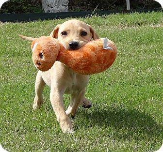 Labrador Retriever Mix Puppy for adoption in Westport, Connecticut - *Isabella - PENDING