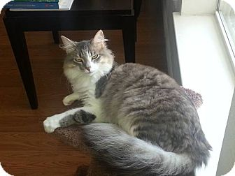 Norwegian Forest Cat Cat for adoption in Dallas, Texas - Elias