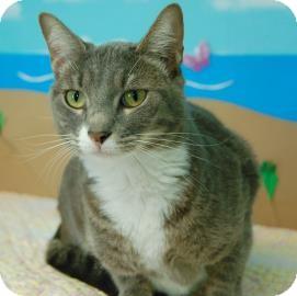 Domestic Shorthair Cat for adoption in Bradenton, Florida - Calypso