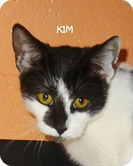 Domestic Shorthair Kitten for adoption in Lapeer, Michigan - KIM--LOVELY-UNUSUAL MARKINGS!
