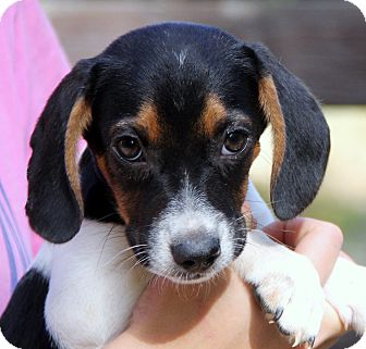 Beagle Mix Puppy for adoption in Stamford, Connecticut - Anya