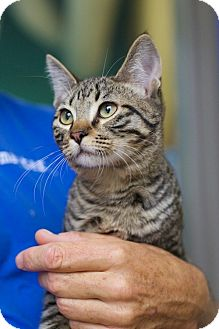 Domestic Shorthair Kitten for adoption in Houston, Texas - Benny
