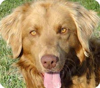 "Golden Retriever Mix Dog for adoption in Winchester, Kentucky - SUNNY(OUR""GOLDEN BOY""-WOW!"