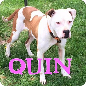 Pit Bull Terrier Mix Dog for adoption in Indianapolis, Indiana - Quin