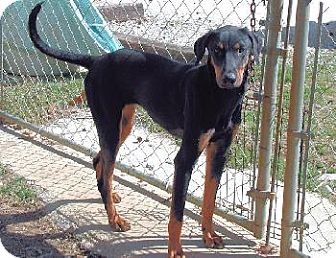 Doberman Pinscher Mix Dog for adoption in Wetumpka, Alabama - #80129 'Mona'