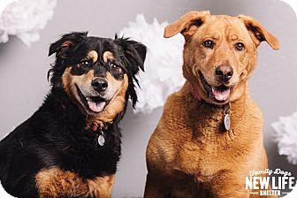 Australian Shepherd/Golden Retriever Mix Dog for adoption in Portland, Oregon - Goldie & Petunia