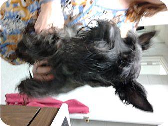 Scottie, Scottish Terrier Dog for adoption in Bloomington, Illinois - McIntosh