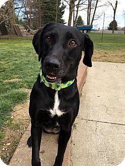 Labrador Retriever/Hound (Unknown Type) Mix Dog for adoption in Mentor, Ohio - GEORGIA**43 lbs & 2-3 YRS OLD!!!