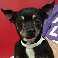Chihuahua Mix Dog for adoption in Centerville, Georgia - Elton