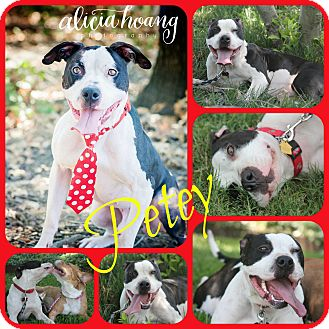 Pit Bull Terrier Mix Dog for adoption in Ft Worth, Texas - PETEY