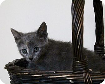 Domestic Shorthair Kitten for adoption in Los Angeles, California - Fortune